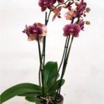 orquideas-lilas
