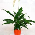 planta-flor-blanca